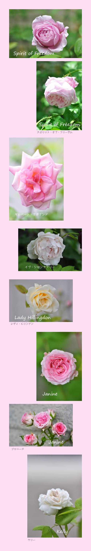 5月29日薔薇2
