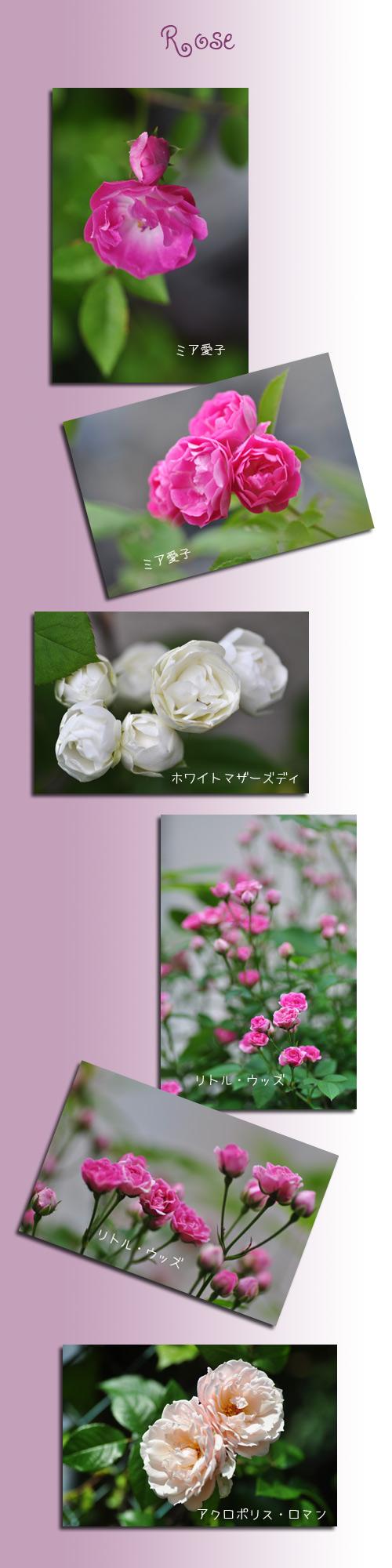6月15日薔薇1