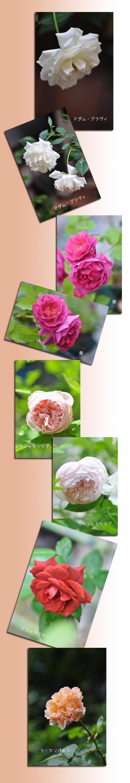 6月15日薔薇2