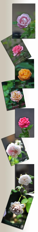 6月15日薔薇3
