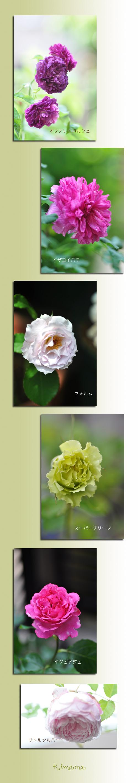 6月15日薔薇4