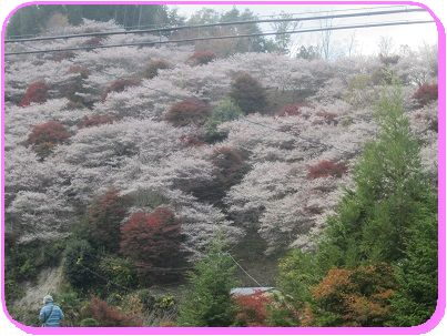 1118四季桜 ブログ