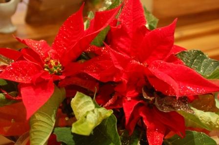 Christmasポインセチア