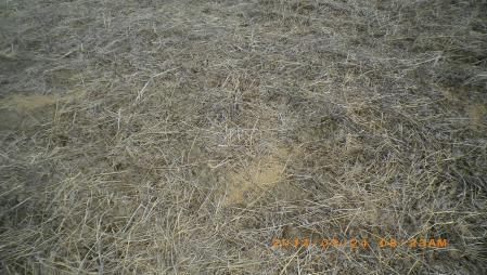 カビ麦粒の捨場 (2)