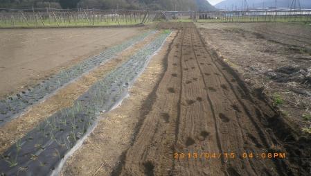 餅米の播種作業 (5)
