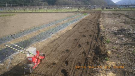 餅米の播種作業 (4)