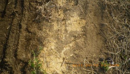 餅米の播種作業 (3)