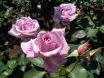 神代植物公園の薔薇(ブルー・ムーン)