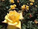 神代植物公園の薔薇(ゴールドクローネ)