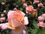 神代植物公園の薔薇(コンフィダンス)