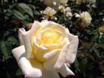 神代植物公園の薔薇(ガーデン・パーティー)