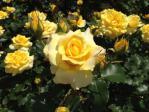 神代植物公園の薔薇(ゴールドバニー)