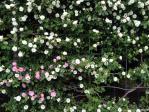 神代植物公園の薔薇(つるサマースノー)