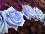 神代植物公園の薔薇(偽ブルームーン)