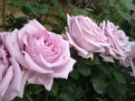 神代植物公園の薔薇(つるブルームーン)