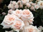 神代植物公園の薔薇(マジョリカ)