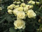 神代植物公園の薔薇(緑光)