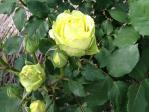 神代植物公園の薔薇(花名不明)