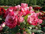 新宿御苑の薔薇(アラベスク)