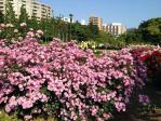 新宿御苑の薔薇(ラベンダードリーム)