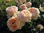 新宿御苑の薔薇(ジュード ジ オプスキュア)