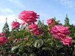 新宿御苑の薔薇(エスメラルダ)