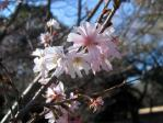 新宿御苑の十月桜