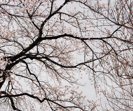 桜 ブログ