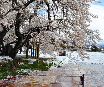 会津 雪と桜