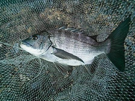 2013.05.19 黒鯛 38cm