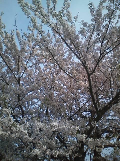20120424giheronsakura (4)