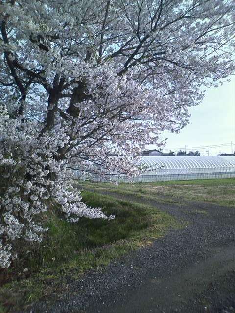 20120424giheronsakura (5)