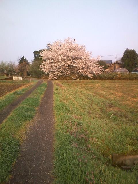 20120424giheronsakura.jpg