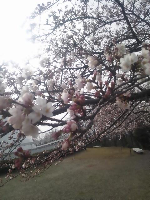 20130401―桜