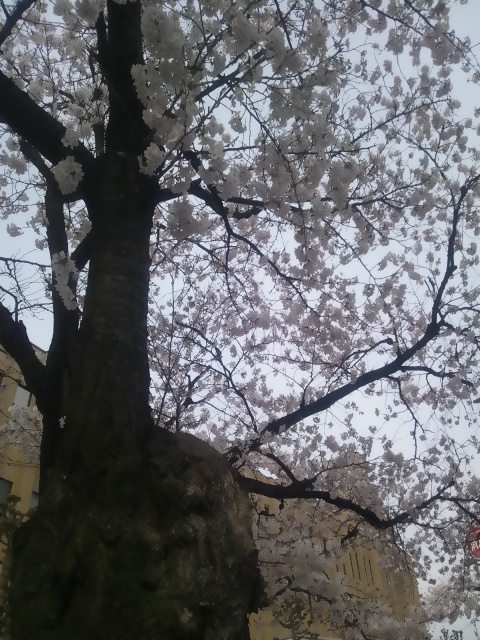 20130401-桜ー1