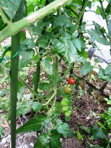 赤プチトマト