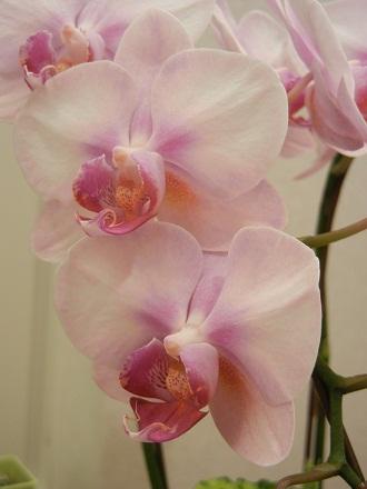 ファレノプシス花