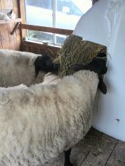 2012秋 小屋の中の羊