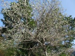 ウラジロの木小