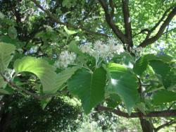 ウラジロの花