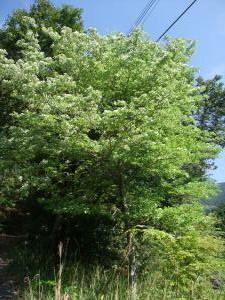 ウラジロの木