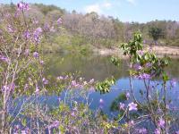 鯉が窪池にツツジの花が池に影を映して・・・