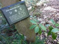 樒(シキミ)佛前に供える、大木に!!姫榊(ヒサカキ)榊(サカキ)迷い易い