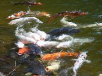 真青の湖面 『鯉か窪池』鯉が見られる、