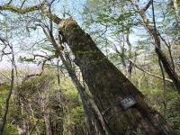 コナラ 大木 全ての木々が大木!!驚く、サンショもシキミも・・・