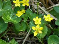 リュウキンカ 湿原に群生 黄色いく一面を飾ってる。