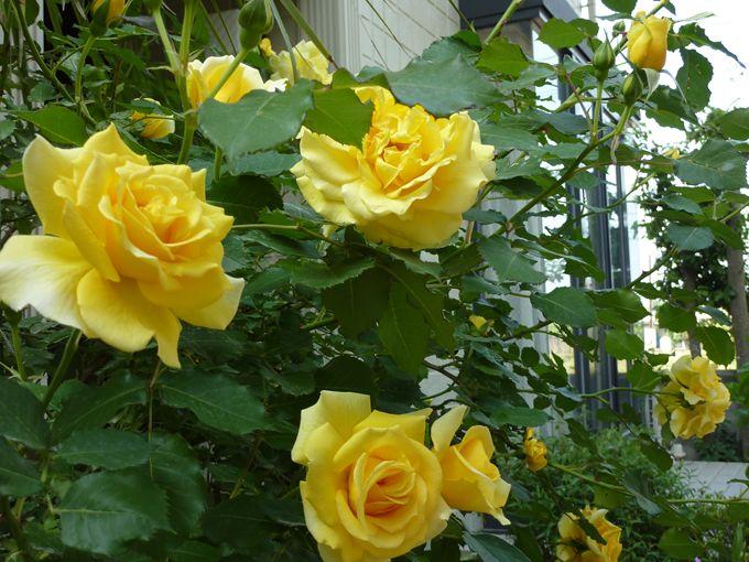 2013年 春のバラ