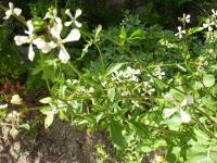 『ルッコラ』ハーブの花 年中芽吹いて食べてます。