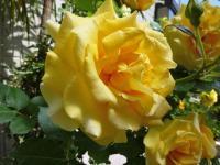 何十年も変らず、黄色いバラが咲く 初夏