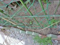 ゴーヤ 小さな苗も 真夏には、二階のテラス迄 届く